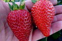 Чудо ягодница выращивает клубнику за 21 день