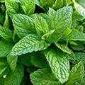 Экстракты листьев мяты и d-манноза содержатся в составе Уролаба.